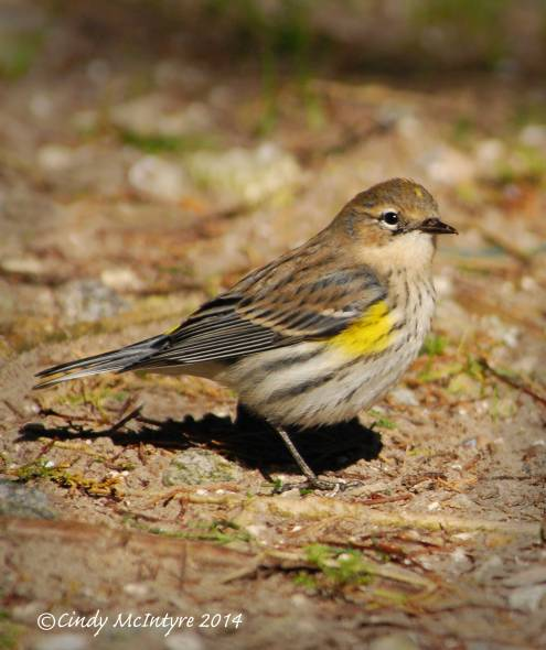 Butterbutt (Yellow-rumped warbler)