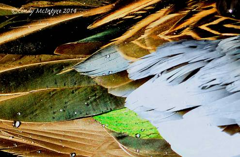 Blue-winged teal feathers