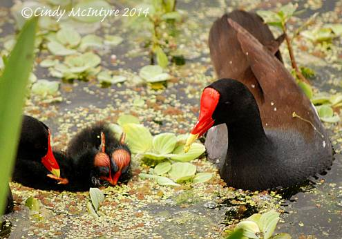 Common-Moorhen-wBabies,-Green-Cay-FL-(5)-copy-3