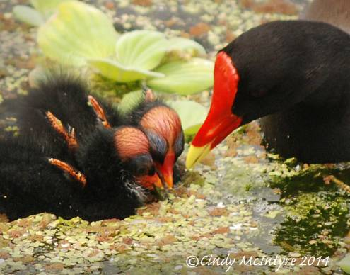 Common-Moorhen-wBabies,-Green-Cay-FL-(7)-copy-2