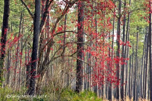 Red Maple's vivid seeds make it look like autumn
