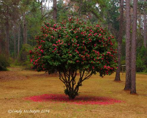Well-pruned camellia bush