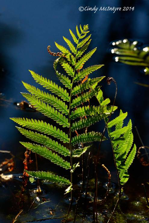 Virginia-Chain-Fern-ONWR-(5)-copy-2