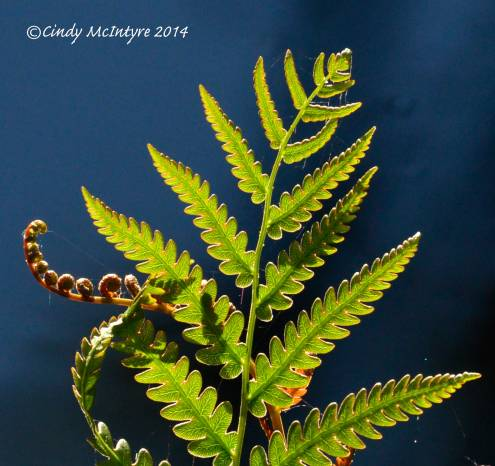 Virginia-Chain-Fern-ONWR-(6)-copy-2