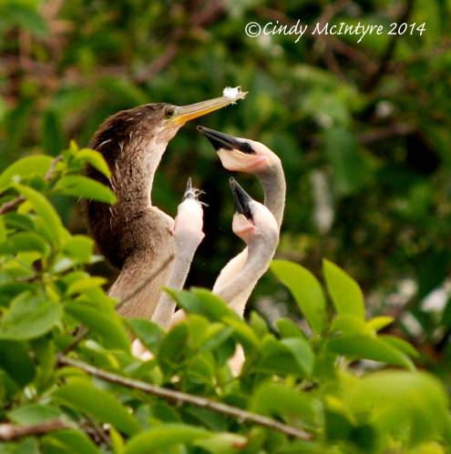 Female anhinga with chicks