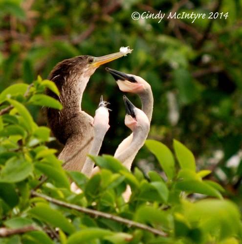 Female anhinga with chicks
