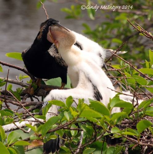 Anhinga chick wrestling a fish from its parent's throat