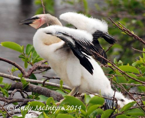 Anhinga-chick,-Wacky-FL-(7)-copy-2