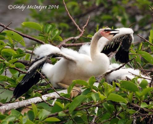 Anhinga-chick,-Wacky-FL-(8)-copy-2