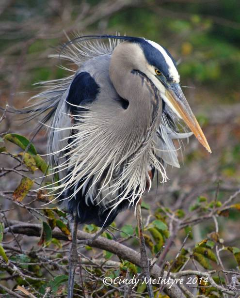 Blue-Heron-on-Nest-2-copy-2