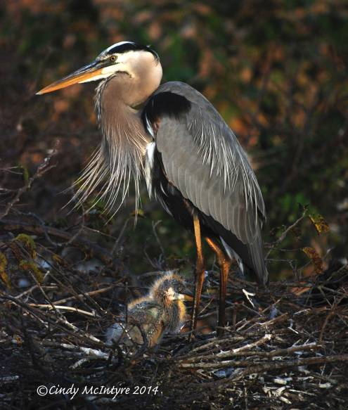 Blue-Heron-papa-3-copy