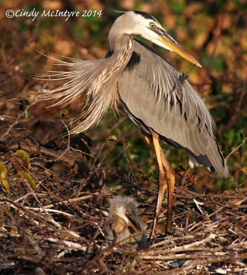 Blue-Heron-preening-7-copy-2