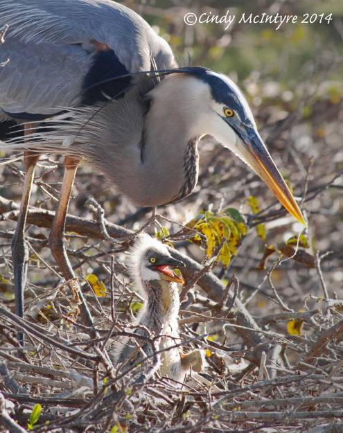 Blue-Heron-w-Baby-6-copy-2