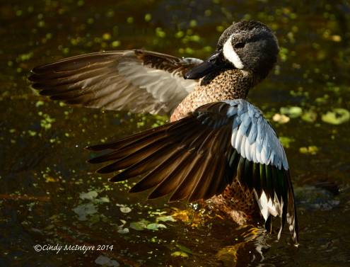 Male blue-winged teal flaunting his blue