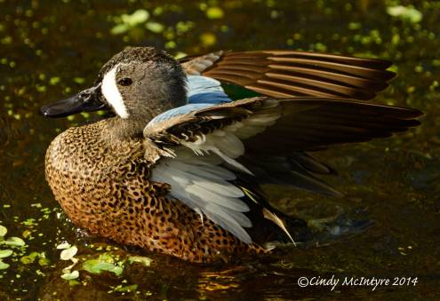 Blue-winged-teal-male,-FL-(81)-copy-2