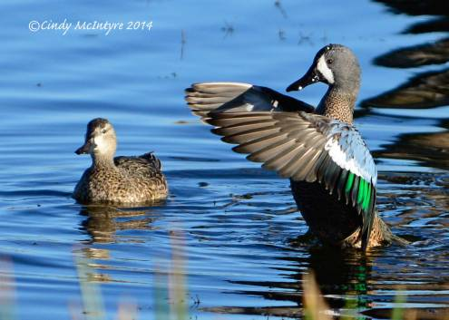 Blue-winged-teals,-Viera-Wetlands-FL-(4)-copy-2