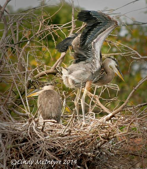 Gr-Blue-Heron-chicks,-Wacky-FL-(1)-copy-3