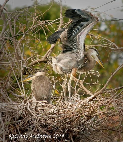 Gr-Blue-Heron-chicks,-Wacky-FL-(1)-copy-3