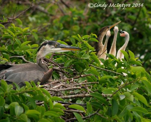 Juvenile Great Blue Heron near an anhinga nest