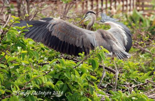Gr-Blue-Heron-juve-in-nest,-Wacky-FL-(30)-copy