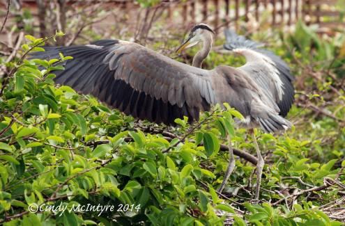 Gr-Blue-Heron-juve-in-nest,-Wacky-FL-(30)-copy