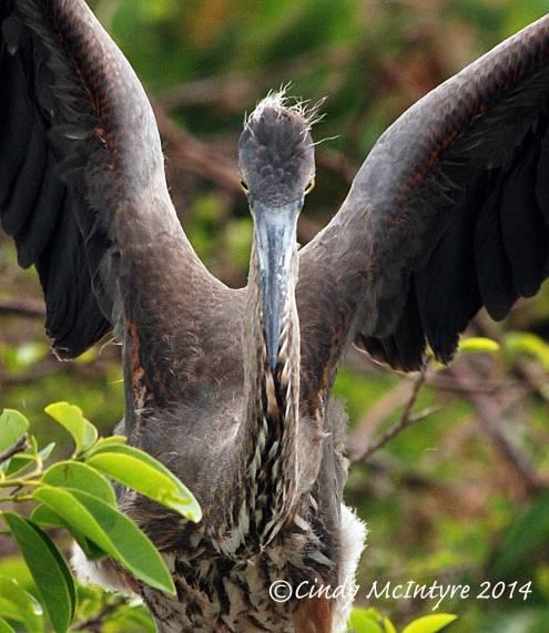 Gr-Blue-Heron-juve-in-nest,-Wacky-FL-(6)-copy-3