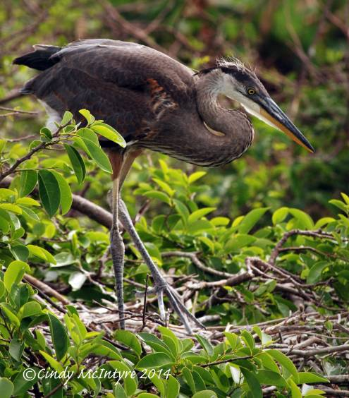 Gr-Blue-Heron-juve-in-nest,-Wacky-FL-(8)-copy-2
