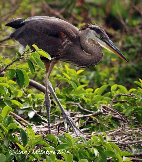Gr-Blue-Heron-juve-in-nest,-Wacky-FL-(8)-copy-2