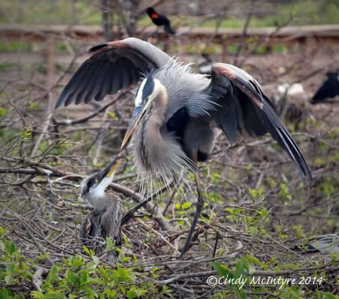 Gr-Blue-Heron-on-nest,-Wacky-FL-(16)-copy-2