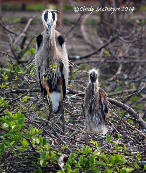 Gr-Blue-Heron-on-nest,-Wacky-FL-(47)-copy-2