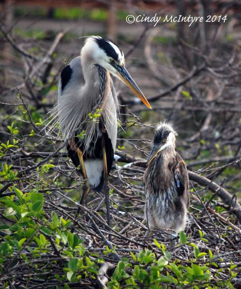 Great Blue Heron and Mini-Me