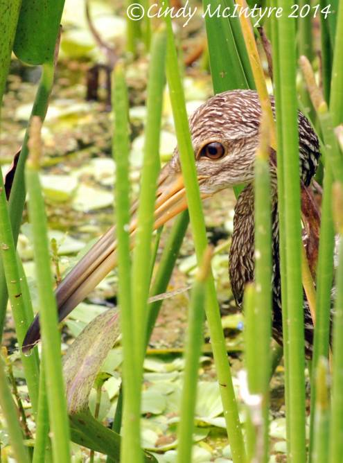 Limpkins, Green Cay (1)
