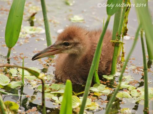 Limpkins, Green Cay (3)