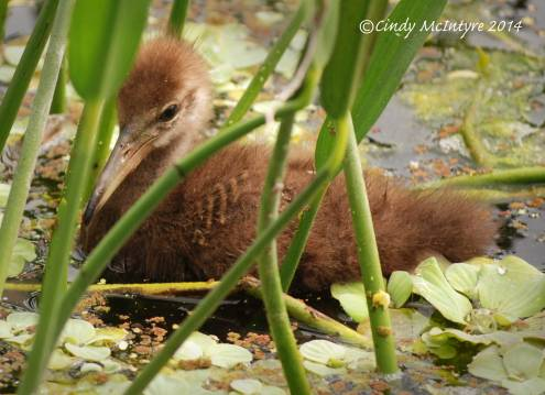 Limpkins, Green Cay (5)