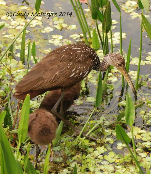 Mother Limpkin and two babies