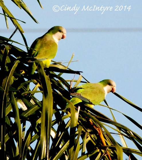 Monk-Parakeets,-FL-(1)-copy