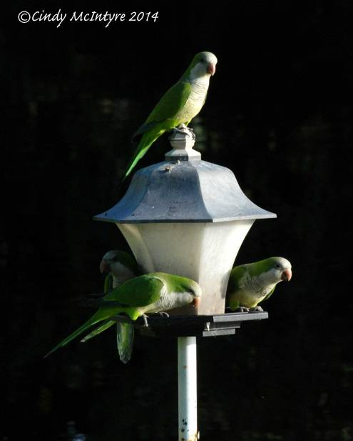Monk-Parakeets,-FL-(2)-copy