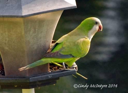 Monk-Parakeets,-FL-(3)-copy