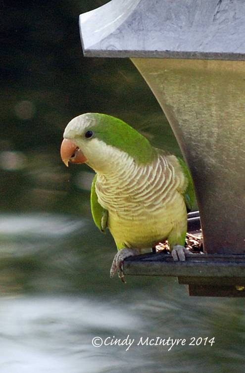 Monk Parakeet at feeder, Boynton Beach, Florida