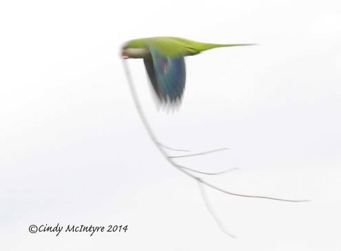 Monk parakeet with twig for its nest