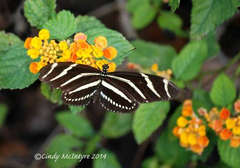 Zebra Longwing on Lantana