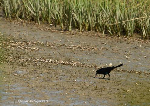 Male boat-tailed grackle feeding on a herd of fiddler crabs
