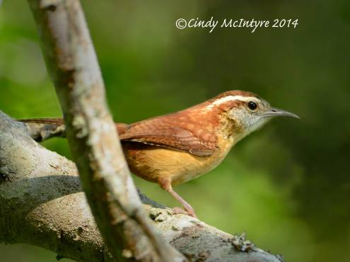 Carolina Wren, male