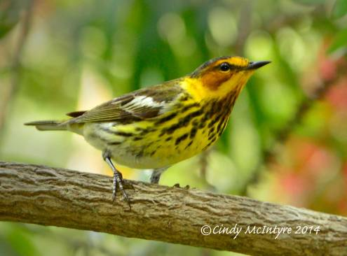 Cape May Warbler, male, Jekyll Island, Georgia