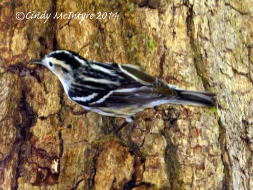 Black-and-White Warbler female