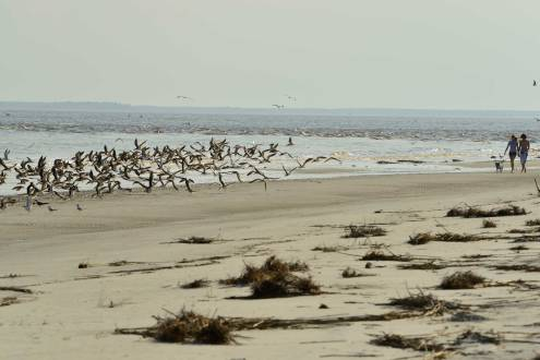 Dog was leashed, but people didn't bother keeping their distance from the resting shorebirds