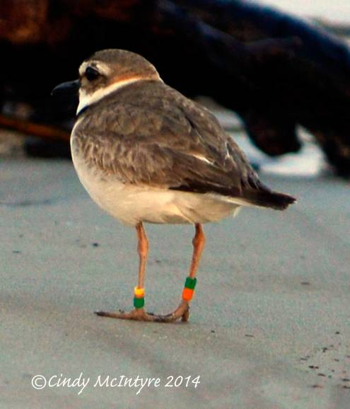 Wilson's Plover, male, wearing leg bands