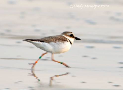 Banded male Wilson's Plover running on beach