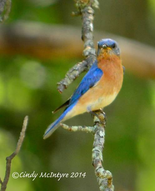 Eastern Bluebird male