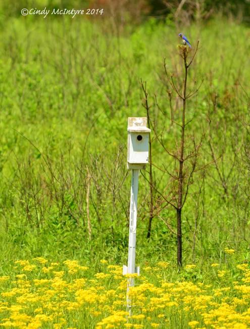 Male Bluebird perches behind the nesting box